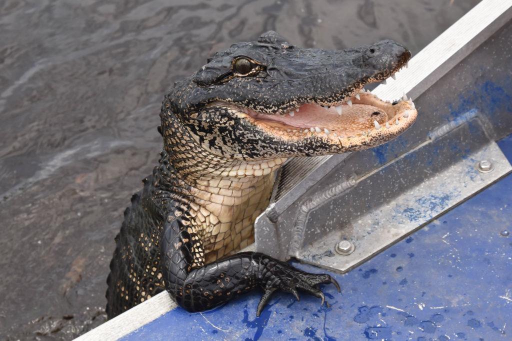 alligator high on meth
